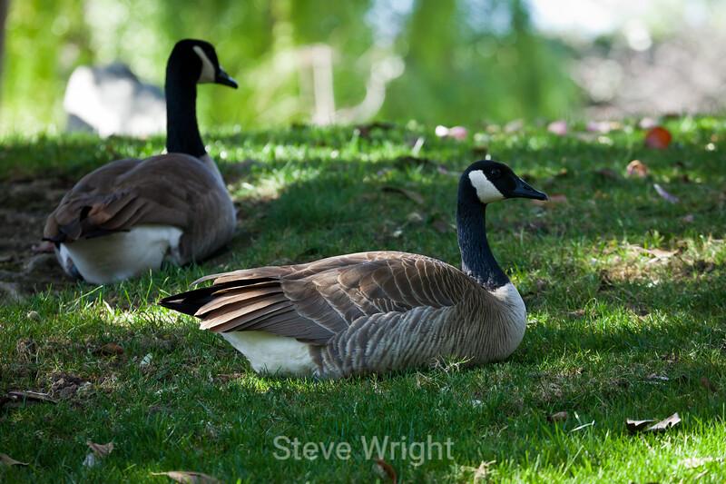 Canada Geese - Japanese Friendship Garden #0302