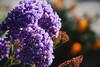 Sea Lavender (Limonium perezii )
