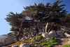 Storm-Bent Monterey Cypress