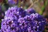 Purple Florets