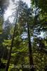 Muir Woods (4)