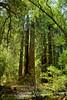 Muir Woods (11)