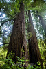 Muir Woods (9)