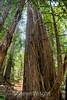 Muir Woods (8)