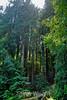 Muir Woods (1)