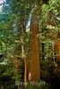 Muir Woods (3)