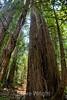 Muir Woods (7)