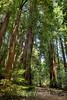Muir Woods (6)