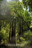 Muir Woods (10)
