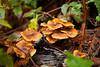 Fungi - Muir Woods #8855