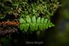 Fern - Muir Woods #9120