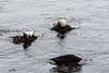 Harbor Seals - Point Lobos #6331