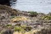 Black-Tailed Deer - Point Lobos #6478