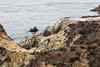 Brown Pelicans - Point Lobos #6220