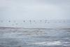 Brown Pelicans - Point Lobos #6500