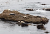 Harbor Seals - Point Lobos #6339