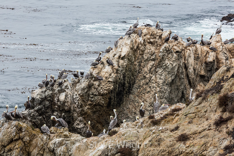 Brown Pelicans - Point Lobos #6028