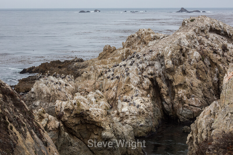 Brown Pelicans - Point Lobos #6113