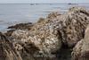 Brown Pelicans - Point Lobos #6113