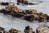Harbor Seals - Point Lobos #6365