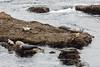 Harbor Seals - Point Lobos #6345