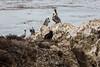 Brown Pelicans - Point Lobos #6034