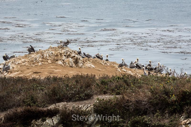 Brown Pelicans - Point Lobos #6100