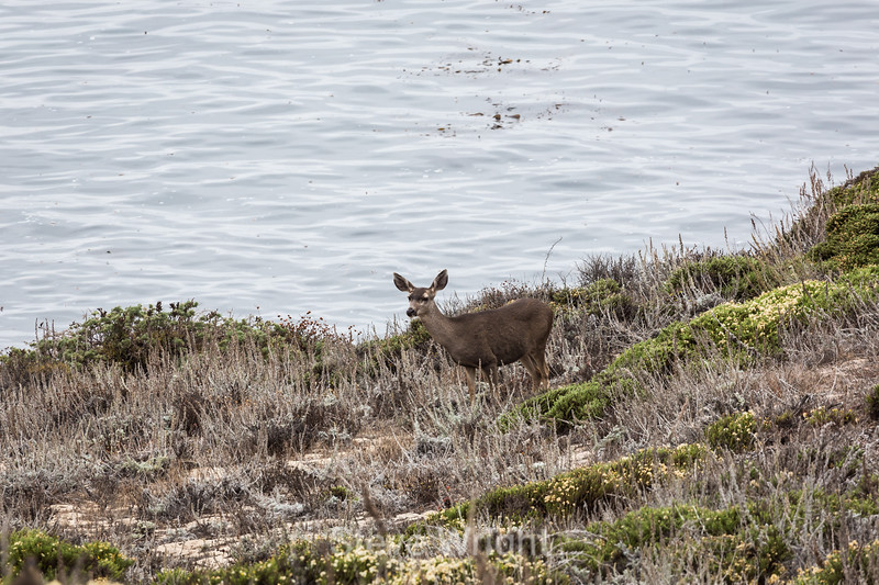 Black-Tailed Deer - Point Lobos #6475
