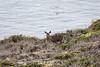 Black-Tailed Deer - Point Lobos #6475