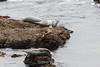 Harbor Seals - Point Lobos #6344
