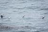 Brown Pelicans - Point Lobos #6449
