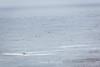 Brown Pelicans - Point Lobos #6486