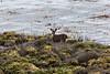 Black-Tailed Deer - Point Lobos #6469