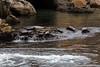 Harbor Seals - Point Lobos #6263