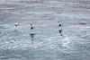 Brown Pelicans - Point Lobos #6495