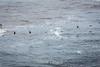 Brown Pelicans - Point Lobos #6493