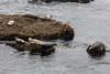 Harbor Seals - Point Lobos #6360