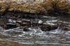 Harbor Seals - Point Lobos #6324