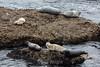Harbor Seals - Point Lobos #6357