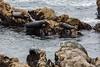 Harbor Seals - Point Lobos #6355