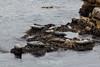 Harbor Seals - Point Lobos #6373