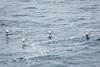 Brown Pelicans - Point Lobos #6452