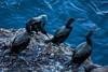 Cormorants - Point Lobos #0999