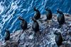 Cormorants - Point Lobos #1037