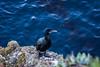 Cormorants - Point Lobos #1030