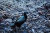 Cormorants - Point Lobos #0992