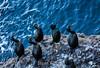 Cormorants - Point Lobos #1033