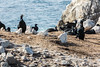 Cormorants - Point Lobos #6805
