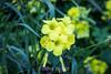 Yellow Flax - Point Lobos #7282
