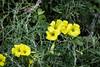 Yellow Flax - Point Lobos #7216